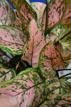 The Outlaw Gardener: Aglaonema cv. 'Valentine'
