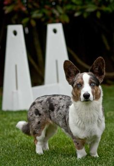Blue merle Cardigan welsh corgi. Freaking LOVE blue merle colored dogs!!