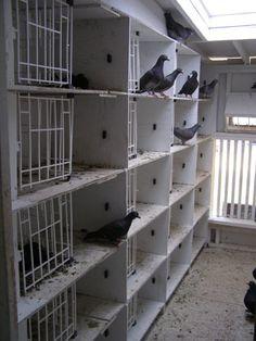 Widowhood, Natural Pigeon Racing