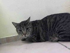 TO BE DESTROYED 8/27/14 ** Loves to play/cuddle/be picked up was said about his personality  and no behavioral issues were reported in the profile. However Bob is  struggling to acclimate and is displaying fractious behavior. ** Brooklyn Center  My name is BOB. My Animal ID # is A1010979.  I am a neutered male gray tabby and white domestic sh mix. The shelter thinks I am about 3 YEARS old.   I came in the shelter as a OWNER SUR on 08/18/2014 from NY 11435, ALLERGIES.  Group/Litter…
