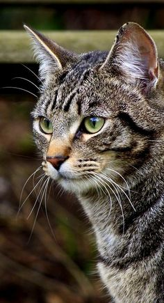 Pretty Cats, Beautiful Cats, Animals Beautiful, Cool Cats, I Love Cats, Animals And Pets, Cute Animals, Kinds Of Cats, Matou