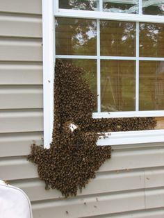 A #Honeybee swarm moving into an indoor observation hive. #bees #beekeeping