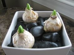 Hyacinths--I set the bulbs in a little bit of water so the roots could start to grow (they already had a few leaves sprouting up when I bought them). Then I filled a vase with stones (you could use marbles or rocks as well) and nestled the bulbs in place so they wouldn't tip over. Next I filled the container with water, just enough so that the bottom of the bulbs were touching the water.