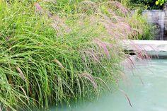 zebra grass near pool
