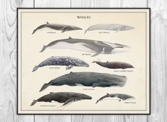 Whales Species - Scientific Art Print - Vintage Educational Scientific Specimen Poster - other sizes available on Etsy, $6.00
