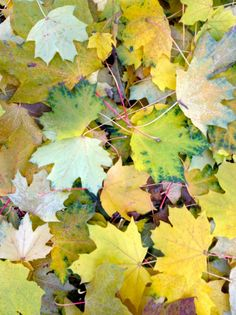 Amazing Maple Leaves