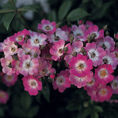 Rosa 'Mozart' pink flowering shrub