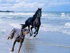 The Doberman Pinscher is among the most popular breed of dogs in the world. Known for its intelligence and loyalty, the Pinscher is both a police- favorite Doberman Pinscher Puppy, Doberman Puppies, Corgi Puppies, Doberman Love, Miniature Pinscher, Cute Creatures, Service Dogs, Shepherd Dog, Dog Love