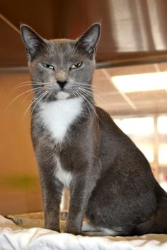 Safe!! Prada is an adoptable Domestic Short Hair in McKinney, TX! She is available through Collin County Animal Services!