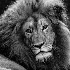 This amazing lion was captured on a morning safari at the Karongwe Game Reserve in South Africa by ChristianNeumeister via http://ift.tt/1MqVq9L