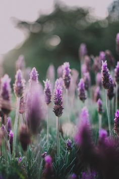 Find images and videos about beautiful, nature and flowers on We Heart It - the app to get lost in what you love. Wild Flowers, Beautiful Flowers, Purple Flowers, Lavender Flowers, Spring Flowers, Foto Macro, Flower Aesthetic, Lavender Fields, Lavander