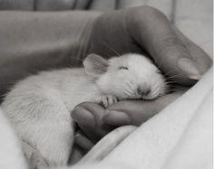 Фотосессия крысят отJessica Florence — Look At Me — Посты — поток «Фотография»