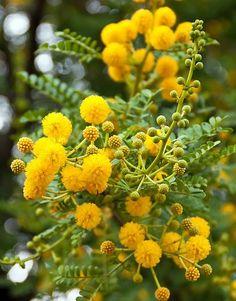 Festa della donna: come dare nuova vita alle mimose ricevute