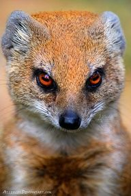 mongoose -- [REPINNED by All Creatures Gift Shop]