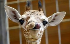 A newborn baby giraffe gets tongue tied at Wilhelma zoo in Stuttgart, Germany