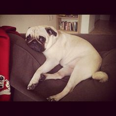 Pugs don't care if they're ruining your couch.  It's all about their comfort.