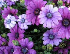 Purple African Daisies - Lovely !