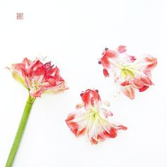 A pair of telescope-eyed golfish made of these beautiful amaryllis. My later #bloomingfishes works are inspired by Chinese ink paintings, completing the composition with a red seal endorsed by my Chinese name (林子, which literally means Limzy) on it! #instaartmovement