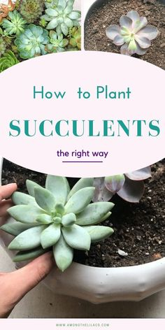 How to Plant Succulents in a Pot - the Right Way - Among the Lilacs Succulent Outdoor, Succulent Gardening, Succulent Care, Succulent Terrarium, Container Gardening, Cacti Garden, Fairies Garden, Indoor Gardening, Vegetable Gardening