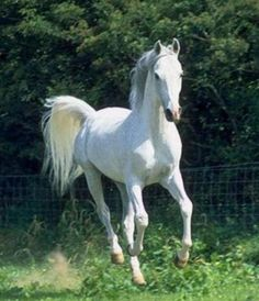 white arabian