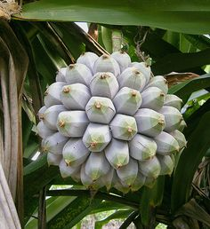 The fruit of Pandanus dubius, native to South East Asia to the Pacific Islands