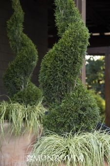 Monrovia's Emerald Green Arborvitae details and information. Learn more about Monrovia plants and best practices for best possible plant performance. Emerald Green Arborvitae, Monrovia Plants, Backyard Plants, Plant Catalogs, Trees And Shrubs, Topiary, Herbs, Patio, Porches