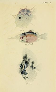 Young of a giant sunfish, soldier-fish, and pomfret. The Arcturus Adventure: An account of the New York Zoological Society's first oceanographic expedition, by William Beebe, 1926.