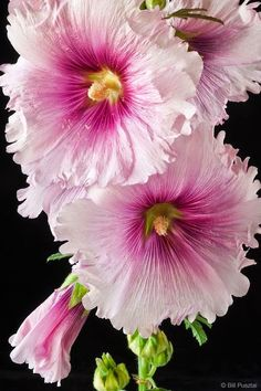 Hollyhocks Fresh