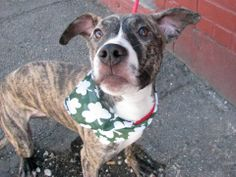 SAFE --- SUPER URGENT 2/23/14  Brooklyn Center   DUTCHESS - A0992259   FEMALE, BR BRINDLE / WHITE, PIT BULL MIX, 7 mos  OWNER SUR - EVALUATE, NO HOLD Reason NO TIME  Intake condition NONE Intake Date 02/22/2014, From NY 11203, DueOut Date 02/22/2014 https://www.facebook.com/photo.php?fbid=762590840420464&set=a.761037493909132.1073742977.152876678058553&type=3&theater ++++FRIENDLY, 3LEGGED++++