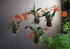 beautiful hanging orchids