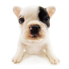Artlist Collection THE DOG (French Bulldog) — Hi there!