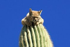 Bobcat Sitting on Top of 40 Foot Tall Cactus. I'm amazed he on on top of any cactus. Ouch!