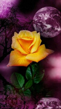 By Artist Unknown. Beautiful Moon, Beautiful Roses, Beautiful Gardens, Images Gif, Rose Images, Lavender Roses, Yellow Roses, Exotic Flowers, Pretty Flowers