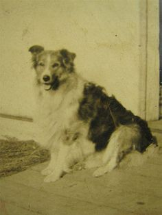 Antique B&W Photo Happy Collie Dog By Country Shed 10x7