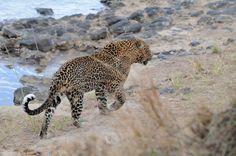 Buscando comida Africa, reserva Masai Mara, naturaleza salvaje