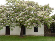 MELIA AZEDARACH.  Chinaberry.