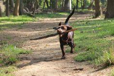 Dog play/ Cruce de bretón con podenco.
