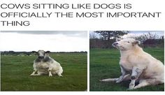 14 Cows Sitting Like Dogs