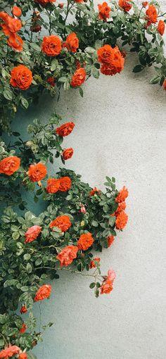 Flower wallpaper - Let It Grow Top 10 Gardening Tips for Beginners gardeningforbeginners Flower Backgrounds, Flower Wallpaper, Wallpaper Backgrounds, Wallpaper Plants, Orange Wallpaper, Orange Aesthetic, Flower Aesthetic, Aesthetic Fashion, Coral Roses
