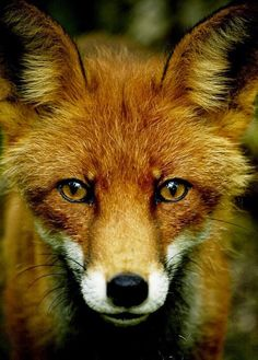 fox face close up / animal photography photos / pictures / forest creatures / wild life Nature Animals, Woodland Animals, Animals And Pets, Cute Animals, Beautiful Creatures, Animals Beautiful, Fuchs Baby, Fantastic Fox, Fox Face