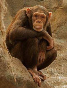 Common Chimp posing by TenPinPhil Monkey See Monkey Do, Ape Monkey, Monkey Girl, Large Animals, Baby Animals, Cute Animals, Colchester Zoo, Los Primates, New World Monkey
