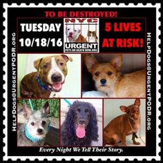 TO BE DESTROYED 10/18/16 - - Info  Please Share:  To rescue a Death Row Dog, Please read this:http://information.urgentpodr.org/adoption-info-and-list-of-rescues/  To view the full album, please click here:http://nycdogs.urgentpodr.org/tbd-dogs-page/ Please Share:-  Click for info & Current Status: http://nycdogs.urgentpodr.org/to-be-destroyed-4915/