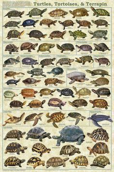 Turtles, Tortoises, & Terrapin Poster