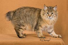 Beautiful PixieBob cat