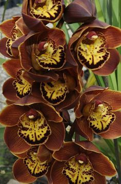 Cymbidium Brown Beauty This cymbidium orchid flowering at the moment, It's Brown Beauty that turning out quite an interesting cymbidium.