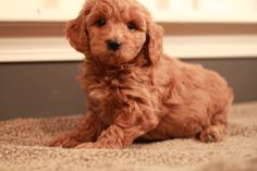 Nike, red goldendoodle puppy, 6 weeks old.