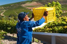 Picking of the Sauvignon Blanc 2015 grapes
