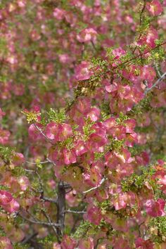 The Red Wing Hopbush [Dodonaea microzyga] is a member of the soapberry family from western Australia.  This unusual bush is located on the Desert Discovery Trail just north of the cardon cactus on the east side of the trail.