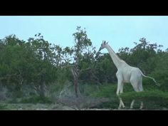 Girafa branca rara em reserva no Quênia 14/09/2017