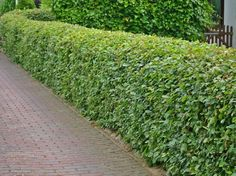 De beuk als haag of Fagus sylvatica, behoud blad, grote hagen Farm Gardens, Outdoor Gardens, Post And Rail Fence, Rhs Chatsworth, Garden Hedges, Backyard Plants, Living Fence, Topiary, Garden Planning
